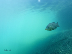 A tench out of the blue.. by Sven Tramaux 